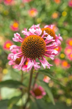 spring-growing-guide-new-flowers-echinacea-quills-and-thrills-0413_0